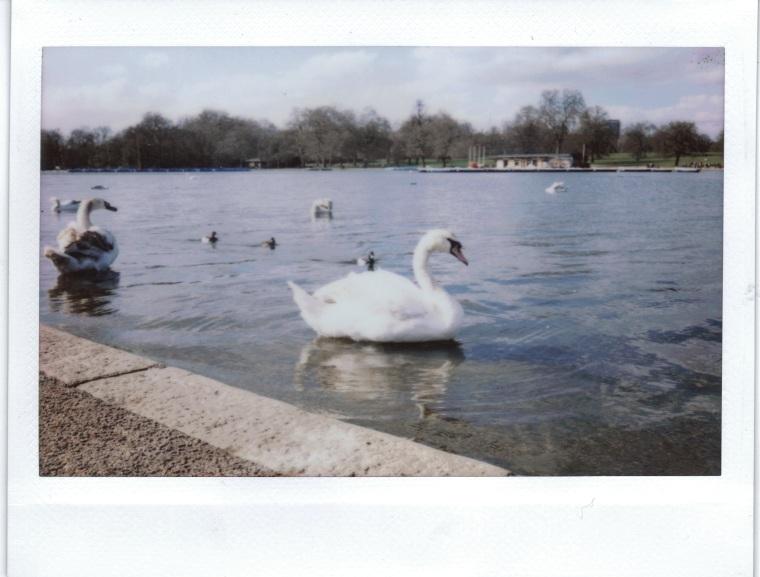 hyde park swan